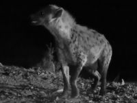 Harar 08 - hyena in black and white