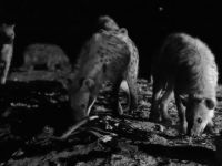 Harar 10 - black and white hyenas with heap of bones