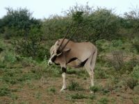 Ethiopia 13 - oryx in Awash National Park