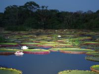 Guyana 17 - water lilies opening by night