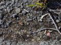 Volcanoes NP 28 - you can spot Pele hair on the ground