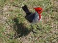 Hawaii 45 - pretty red-headed bird