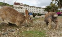 Okunoshima 03 - hopping around outside the hotel