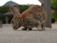 Okunoshima 06 - on rabbit eye level