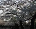 Yasukuni with cherry blossoms