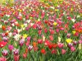 Holland 7 - tulips
