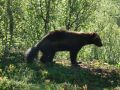 Norway 33 - a wolverine