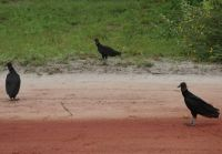 Suriname 12 - roadside vultures