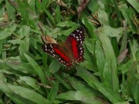 Suriname 20 - butterfly