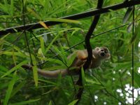 Suriname 22 - inquisitive squirrel monkey