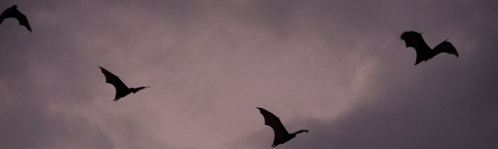 144 - Indonesia fruit bats.JPG