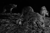 Harar 09 - hyenas in black and white