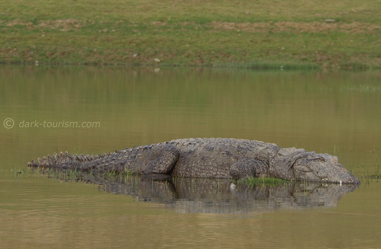 13 11 2017   mugger crocodile posing in  the middle of the Chambal river, India