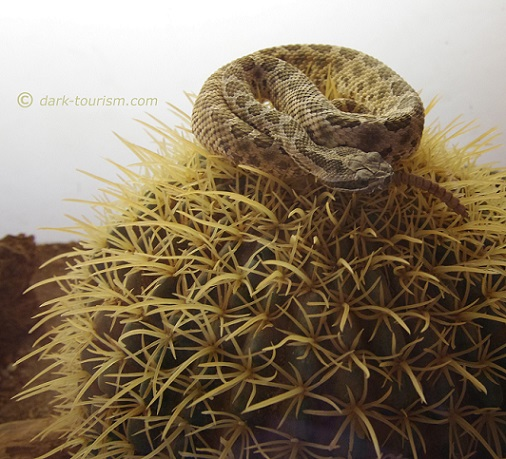 03 03 2020   rattlesnake perched on a cactus, Albuquerque, New Mexico