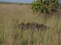 Guyana 12 - giant anteater in the Rupununi
