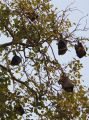 Kanpur 17 - fruit bats hanging in a tree