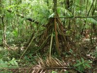 Suriname 19 - walking tree