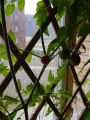 Pyramiden 31 - the northernmost tomato plant in the world